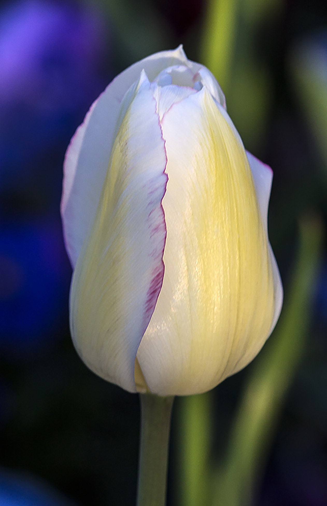 a-simple-tulip-rod-martinez-slc2014_0216a